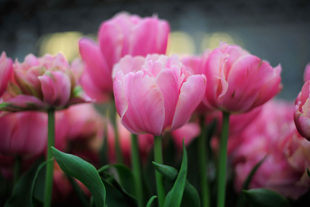 The bokeh in this photograph of tulips is very noticeable, as round orbs of colour. © Lindsay Silverman