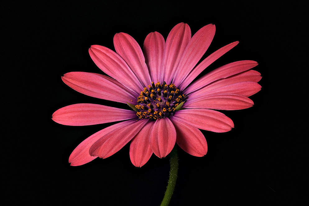 "© David Leaser Osteospermum, known as the African daisy, is a genus of the sunflower/daisy family. ""This image is one of the collection created at the Huntington the first time I photographed with the D850,"" David says."