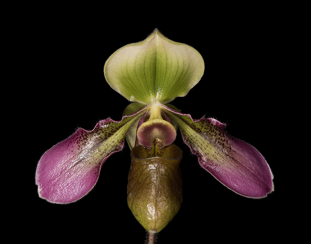 "© David Leaser Paphiopedilum hookerae, commonly known as a slipper orchid, is a species endemic to Borneo. ""I particularly wanted to see how the D850 would capture and display details, but since it was the first time using the camera, I didn't expect to produce images I would add to my portfolio. But I realized I'd been able to do both: show the detail the D850's stack focus technology can achieve and capture images of nature which move me—and may move others."""