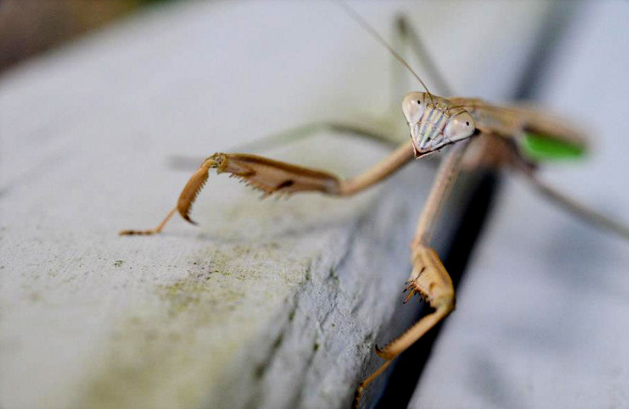 D600, AF-S DX Micro-NIKKOR 40mm f/2.8G, 1/100 second, f/5, ISO 800, program, Matrix metering. Slow moving insects such as this Praying Mantis make great subjects. The photographer was able to follow it, as it made its way around the fence railing, taking lots of photos at various angles. Photo by: Diane Berkenfeld